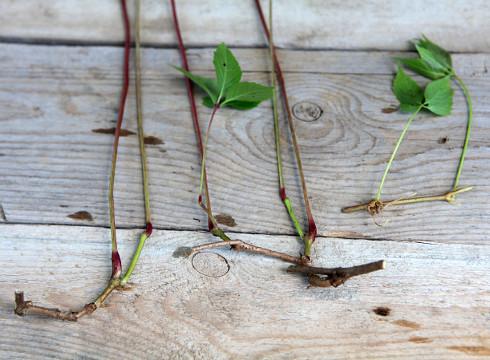 Метод черенка размножение девичьего винограда