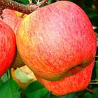 Саженцы Яблони Зари Ред - летняя, крупноплодная, урожайная, фото 2