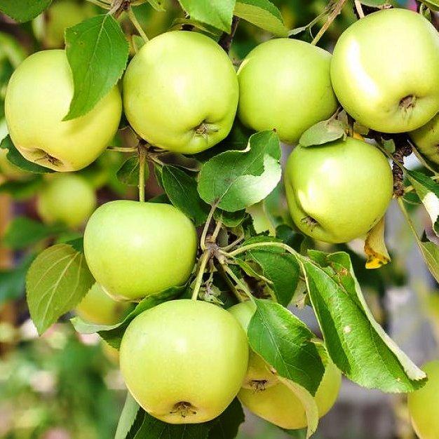 Саженцы Яблони Изумруд - зимняя, крупноплодная, зимостойкая