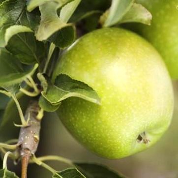 Саженцы Яблони Ренет Кубанский - зимняя, урожайная, зимостойкая