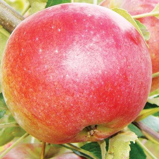 Саженцы Яблони Сочи-2 - осенняя, зимостойкая, крупноплодная