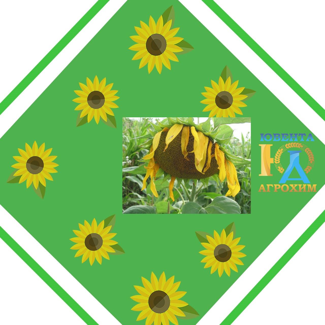 Насіння соняшнику Українский F1 (стандарт)