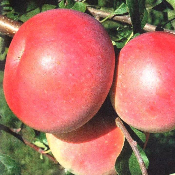 Саженцы Яблони Ятака - зимняя, крупноплодная, неприхотливая