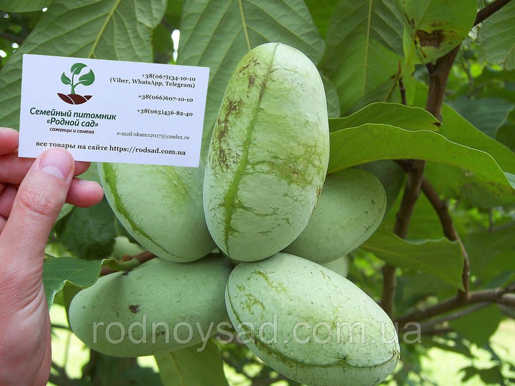 Азимина семена Asimina triloba (10шт) косточки, семечки для саженцев (мексиканский банан)насіння для саджанців