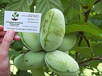 Азимина семена Asimina triloba (10шт) косточки, семечки для саженцев (мексиканский банан)насіння для саджанців, фото 1