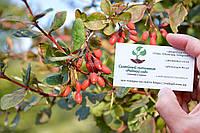 Барбарис обыкновенный семена 10 шт (семечки) для саженцев насіння на саджанці, фото 1