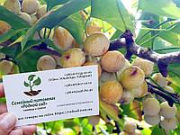 Гинкго билоба семена 10 шт(гинко, гинго, гингко) для саженцев Ginkgo biloba насіння гінкго(гінко,гінго,гінгко)