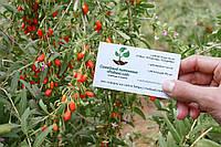 Ягода годжи семена (10 штук) (дереза обыкновенная) Lýcium bárbarum для саженцев, насіння годжі на саджанці