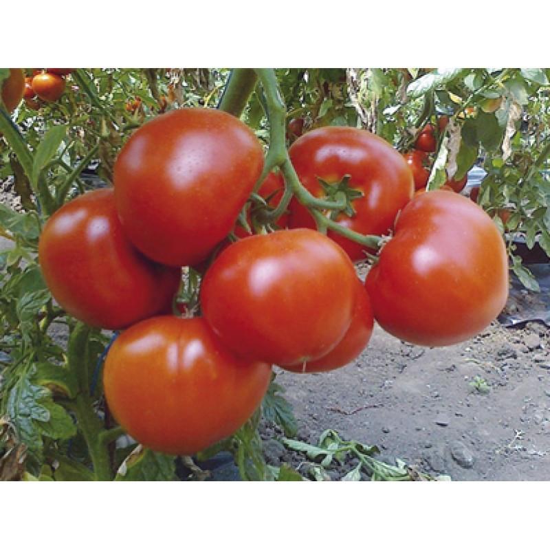Сливовидний томат індетермінантний Полікарпо F1/Polikarpo, Enza Zaden, 250 насінин