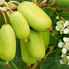 Саженцы актинидия аргута Джамбо 3хлетняя (женская) в 5л, фото 3