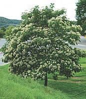 Эводия Даниэля, Пчелиное (Медовое) дерево 10 семян Хорватия
