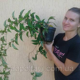 Саженцы актинидии аргута Киевская крупноплодная в конт.3л (женская), фото 2