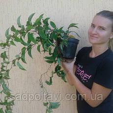Саженцы актинидии аргута Оригинальная в конт.2л (женская), фото 3