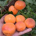 Саженцы Абрикоса Оранж Ред (Orange Red) - средний, сладкий, зимостойкий, фото 2