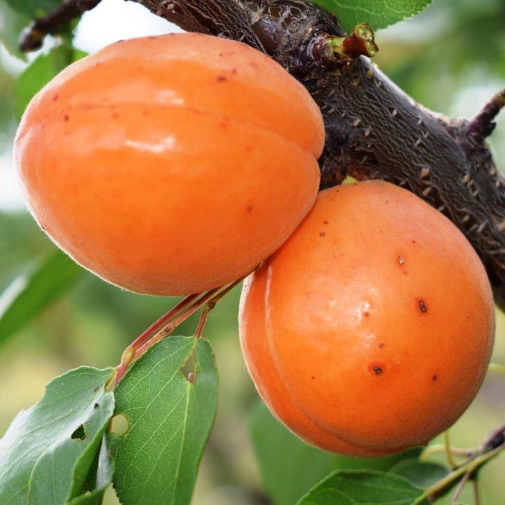 Саженцы Абрикоса Оранж Ред (Orange Red) - средний, сладкий, зимостойкий