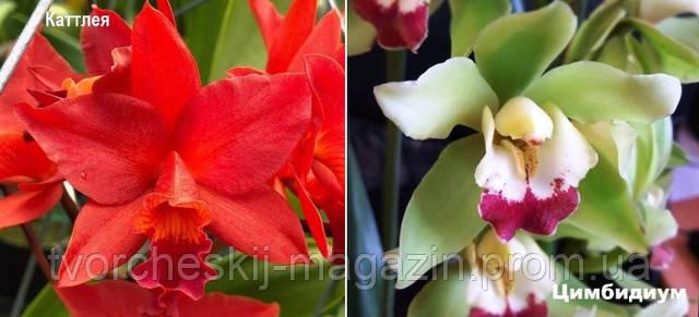 орхидеи каттлея и цимбидиум