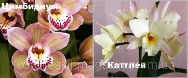 орхидеи каттлея и цимбидиум сравнение