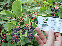 Ирга семена (10 штук) для выращивания саженцев (насіння на саджанці) + инструкция, фото 1
