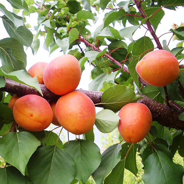 Саженцы Абрикоса Фарбели - поздний, урожайный, неприхотливый
