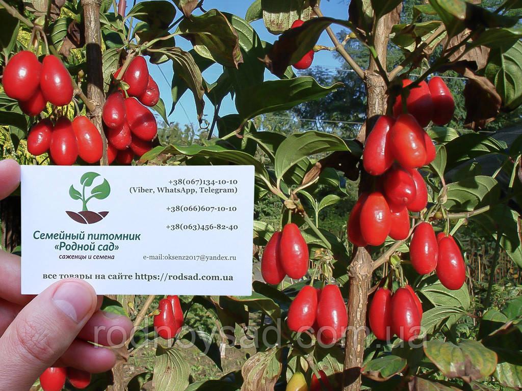 Кизил красный семена (10 штук) для саженцев Córnus mas (насіння на саджанці кізіл, кизіл, кізил) + инструкция