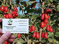 Кизил красный семена (10 штук) для саженцев Córnus mas (насіння на саджанці кізіл, кизіл, кізил) + инструкция, фото 1