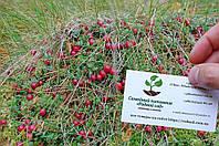 Клюква семена (10 шт) журавлина насіння + инструкция + подарок, фото 1