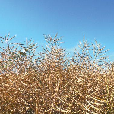 Семена озимого рапса ГКХ-2624 / Насіння озимого ріпаку ГКХ-2624