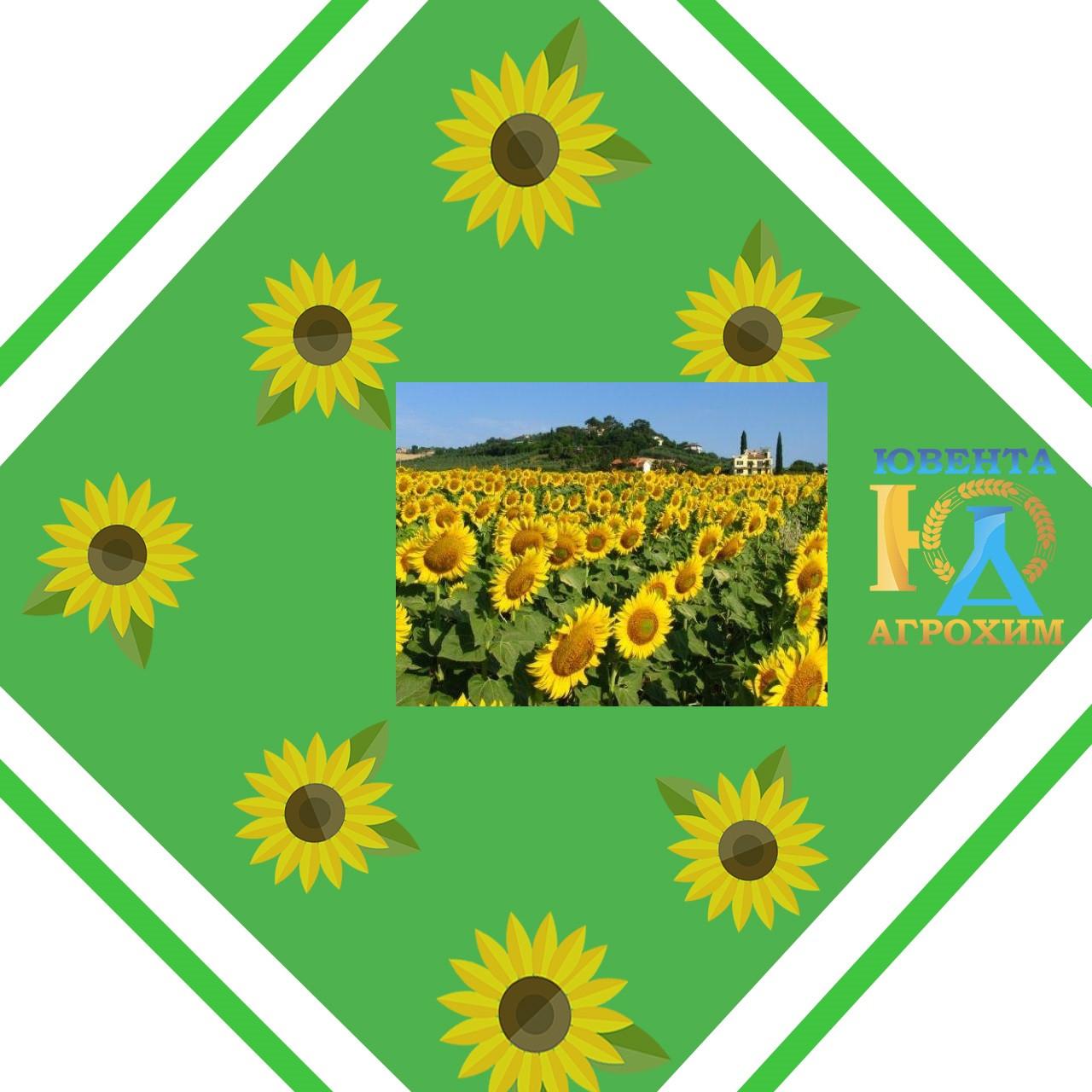 Гібрид соняшнику Лиман ОР 7 (стандарт)