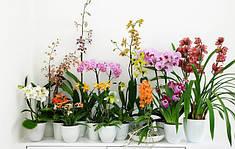 Голландские взрослые орхидеи