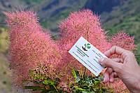 Скумпия кожевенная семена (10 штук) париковое дерево, кожевенник декоративный кустарник скумпія насіння