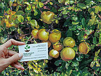 Хеномелес семена айва японская Chaenoméles japónica (10шт/насіння для саджанців)семечка, косточка для саженцев