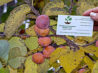 Хурма виргинская американская семена (10 штук) Diospyros virginiana насіння для саджанців/саженцев, фото 1
