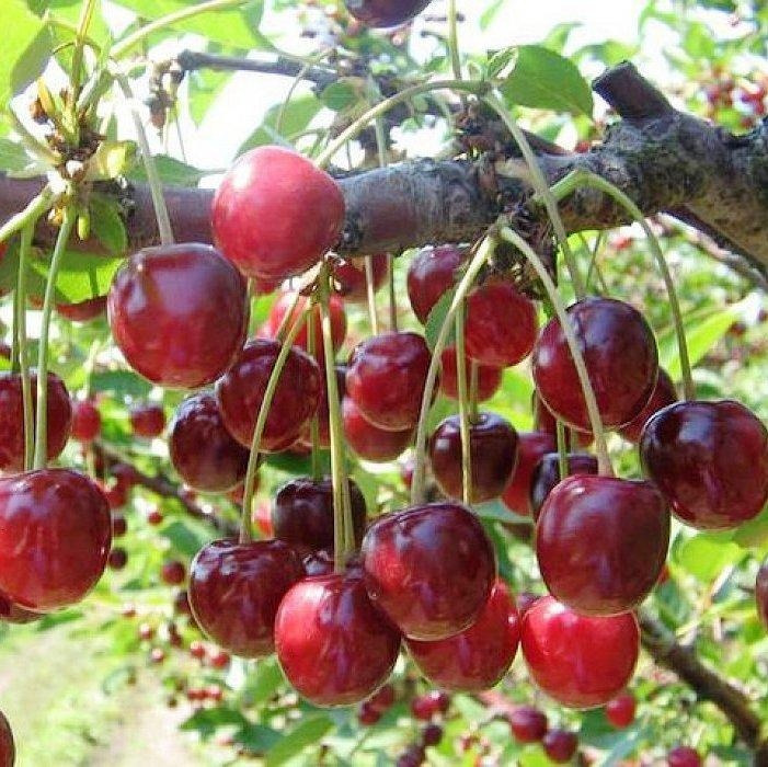 Саженцы Вишни Ранняя-2 - раннего срока, высокоурожайная, неприхотливая, морозоустойчивая