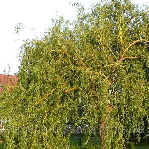 Ива Матсудана  (контейнер 15 л, размер растения 90-120см)