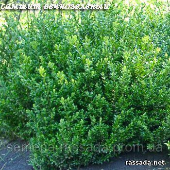 Самшит вечнозеленый саженец, контейнер №11.  40-50 см, С10