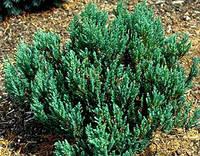 Можжевельник горизонтальный 'Blue Forest', контейнер С3 a-0,20-0,30