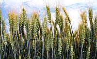 Семена пшеницы Шестопаловка 1 репродукция склад Белозерка Херсонская область