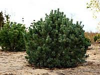 Сосна обыкновенная Ватерери (70-80 см, ЗКС)