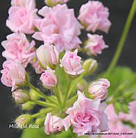 """Пеларгония """"Millfield Rose"""" (герань, калачики №32)"""