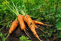 Как часто можно поливать морковь