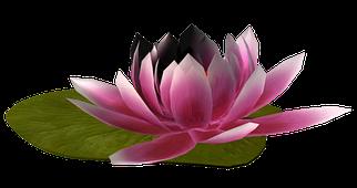 Водяные лилии кувшинки нимфеи