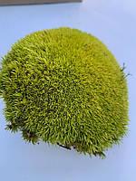 Стабилизированный мох кочки 500 гр. лайм