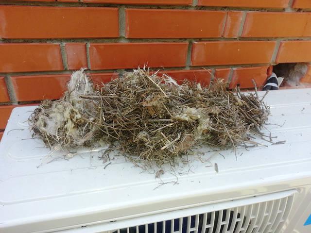 Гнездо белки в канале в кирпичной вентиляционной шахте.