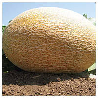 Весовые семена дыни Амал от производителя.