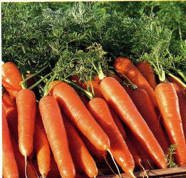 Купить семена Моркови  Московская Зимняя