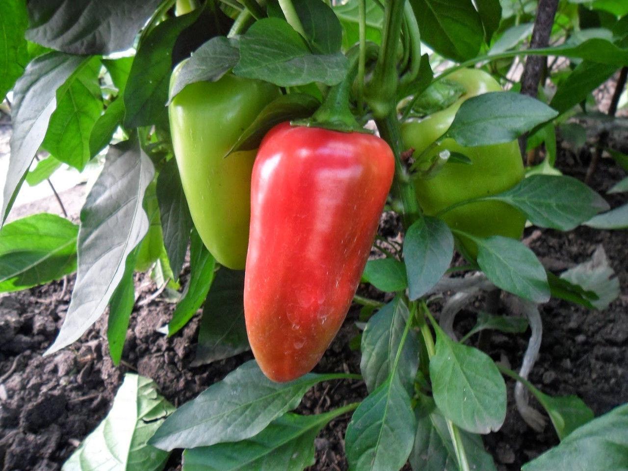 Весовые семена перца  Купец