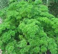 Семена петрушки Кучерявая (весовая от производителя)