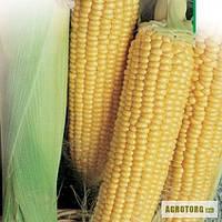 Семена сахарной кукурузы Брусниця (на вес оптом)