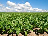 Семена сахарной свеклы Геркулес (оптом от производителя)
