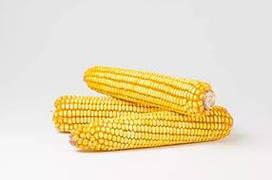 Семена кукурузы  Запорожский 333 МВ.